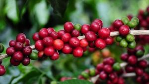 Exportação de café cresce 10% em março, diz Cecafé