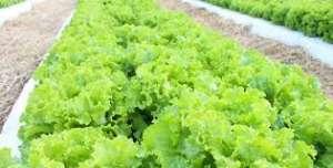 Novas cultivares de alface crespa suportam até dez dias mais o calor