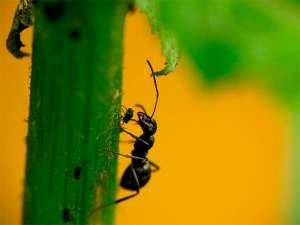 Formigas que defendem plantas recebem nutrientes
