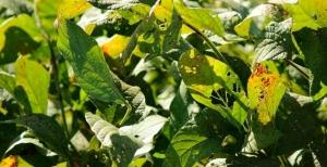 Fungicida multissítio fortalece o combate à ferrugem asiática