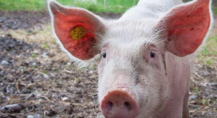 Peste suína africana (PSA): tudo o que você precisa saber sobre a doença