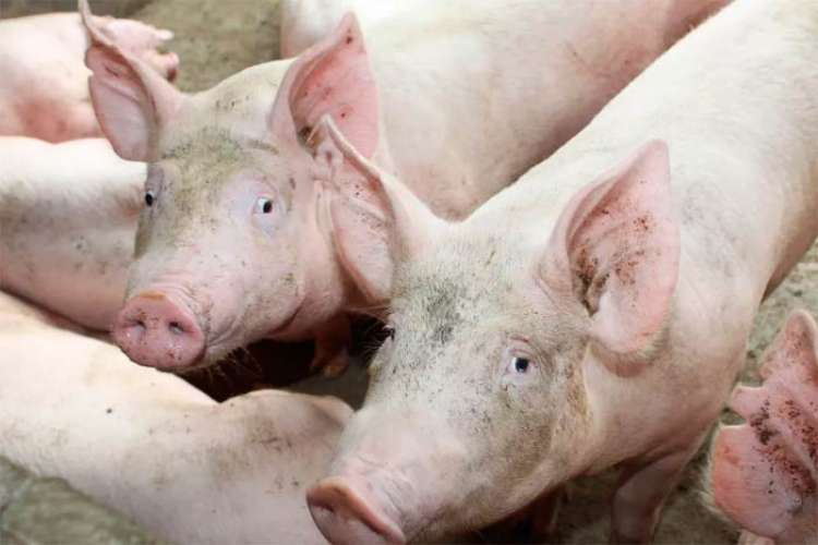 Peste Suína: FAO eleva para 6.23 milhões o número de animais abatidos pela doença