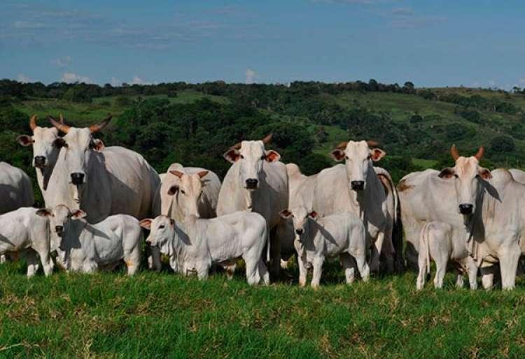 Estudo 'Do pasto ao prato: subsídios e pegada ambiental da carne bovina' será lançado no final de janeiro