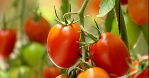 Cheiro de tomate pode proteger as culturas contra bactérias