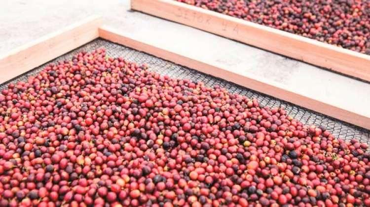Problemas climáticos são os maiores entraves para o crescimento da produção de café