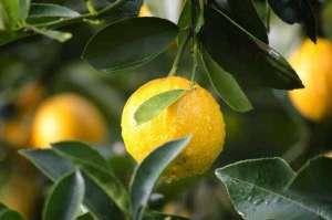 Preço do Limão deve cair 40%