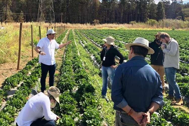 Controle biológico pode alcançar até 80% de eficiência contra ácaro-rajado na produção de morango