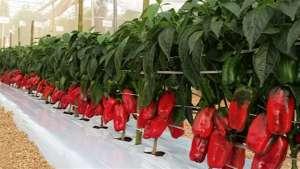 DF: produção de pimentão deve ter aumento de 20%