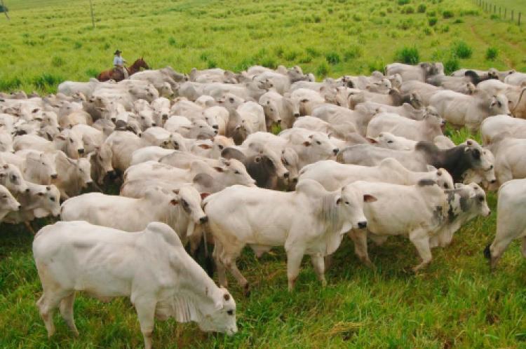 MT cresce 9% no número de abate de gado