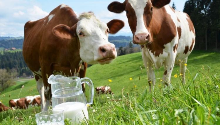 3 principais erros na coleta de amostras de leite