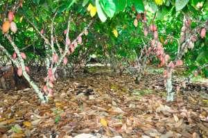 Produtores de cacau na Bahia conhecem método de alta produtividade