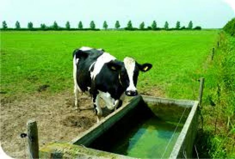 Qual a temperatura ideal da água para consumo de bovinos?