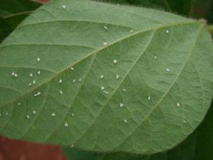 Raça de mosca branca mais resistente a inseticidas é encontrada em Mato Grosso