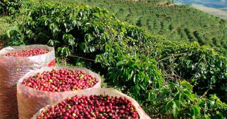 Produção do Café do Cerrado Mineiro preza pela ética e qualidade
