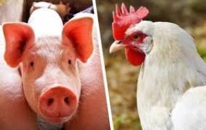 Mercado de suínos e aves tem boas perspectivas para próximos anos