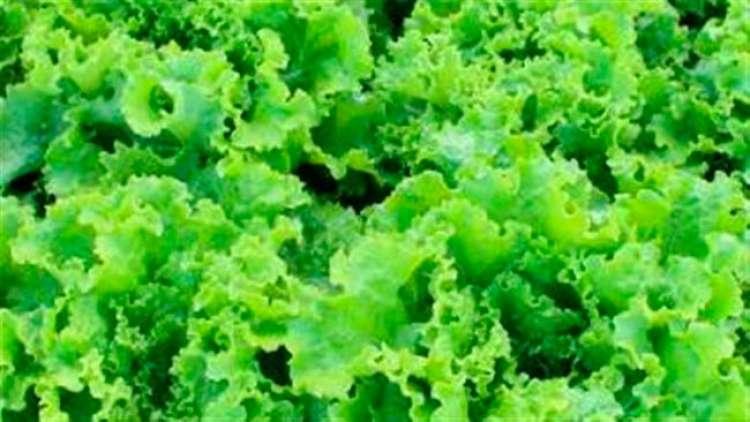 Plantio Direto de Hortaliças reduz o uso de agrotóxicos