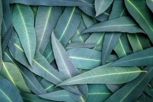 Venda de sementes de eucalipto cresce 800% na Argentina