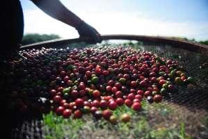 Café: produção é estimada em 59 milhões de sacas, queda de 8%