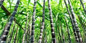 Solução inovadora é alternativa para cana-de-açúcar