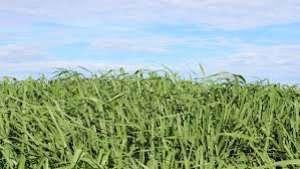 Cobertura verde é ideal para recuperar o solo da safra de verão