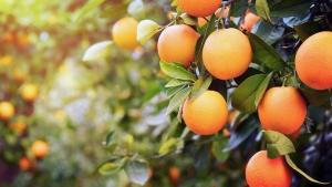 Nutrição dos Citrus otimiza a qualidade dos frutos