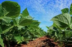 Cresceu incidência de plantas daninhas nas lavouras de soja
