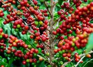 Brasil e Colômbia consolidam aliança para garantir renda aos cafeicultores