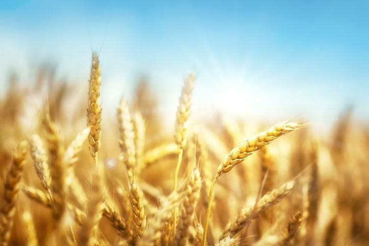 Com chuvas pontuais, lavouras de trigo já têm perdas de 15% na produtividade em Ponta Grossa (PR)