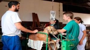 Realizada com sucesso a primeira coleta de embriões de ovinos sem cirurgia