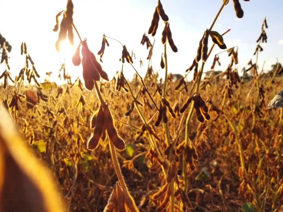 Falta de chuvas e temperaturas altas provocam 30% de perda na produtividade de soja em Cascavel/P...