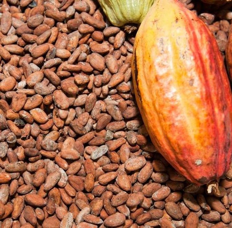Compostos bioativos de cacau permitem desenvolver remédios