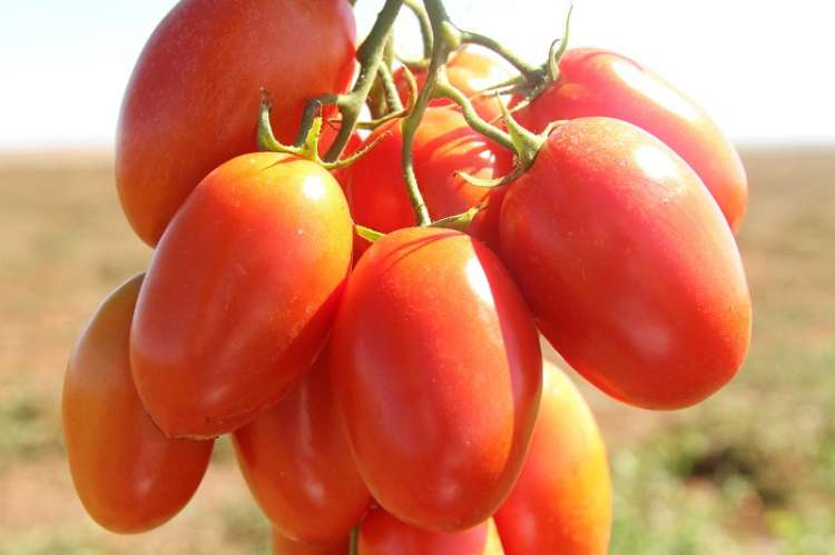 Inscrições abertas para 8º Seminário Nacional de Tomate de Mesa