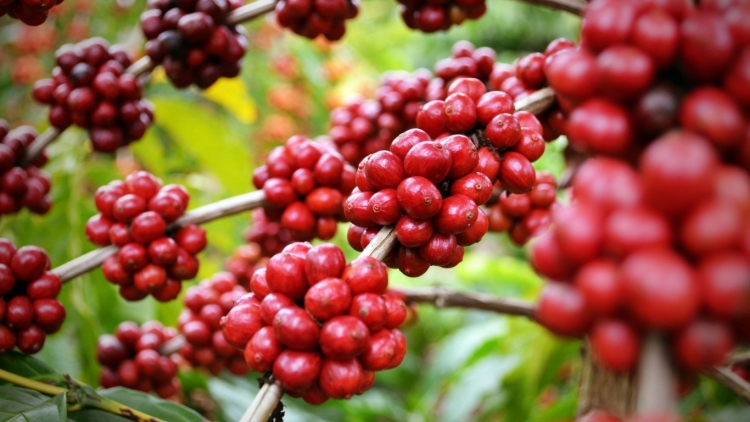 60% das variedades de café podem ser extintas