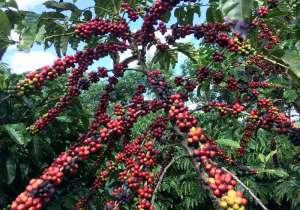 Brasil vê menor volume de café de alta qualidade em 2019, alguns operadores sofrem