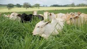 Bifequali TT aumenta produtividade de propriedades de gado de corte