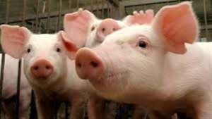 FAO alerta sobre disseminação da peste suína