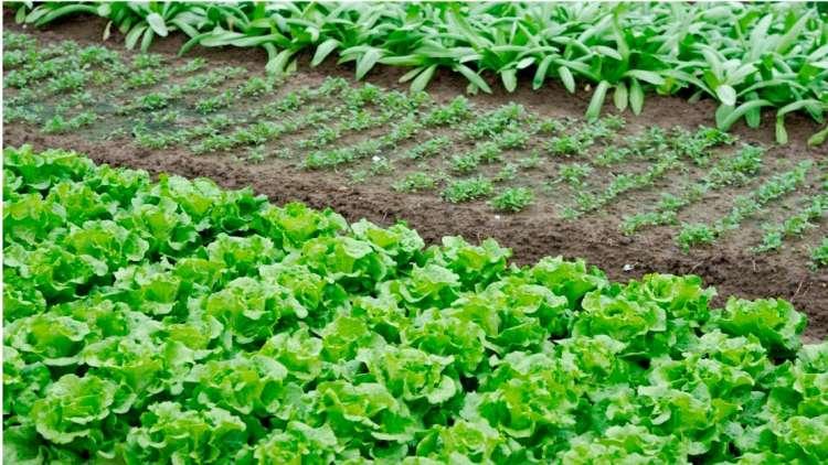 Produtor de hortaliças deve ficar no azul em 2019, diz Cepea