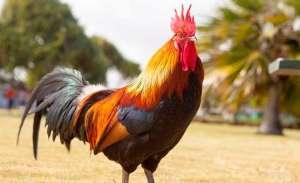 Estudos em avicultura colonial contribuem para divulgar curiosidades sobre as galinhas