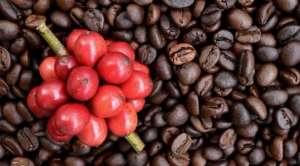 Produção de café arábica poderá ter uma receita bruta de R$ 15 bilhões