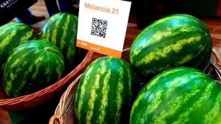 Novo híbrido de melancia chega ao mercado