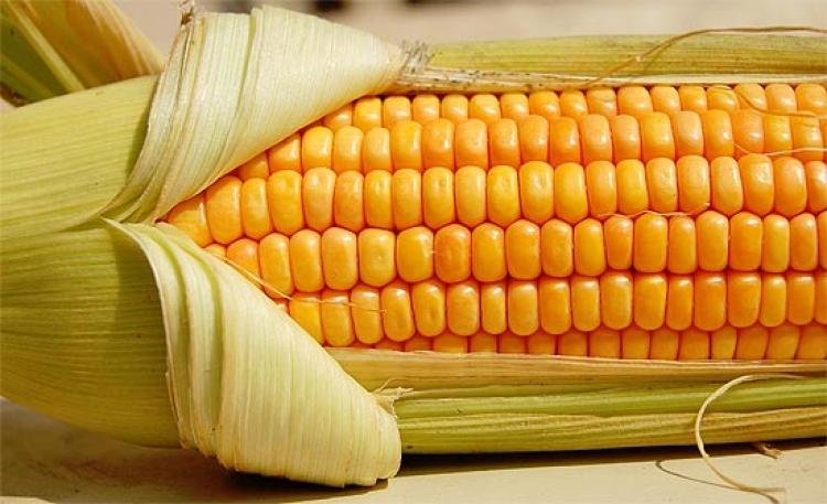 Descoberto gene essencial na formação das espigas de milho