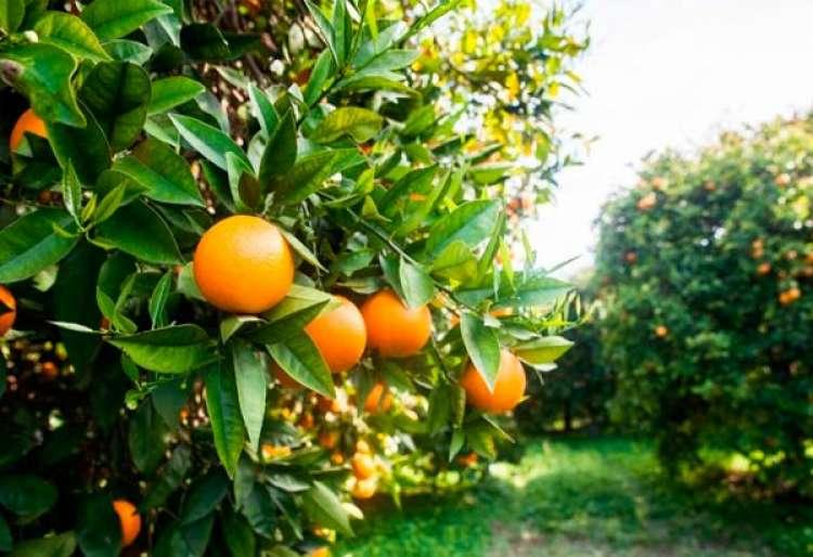 Com maior produção de laranja, exportação de suco aumenta 26,60%