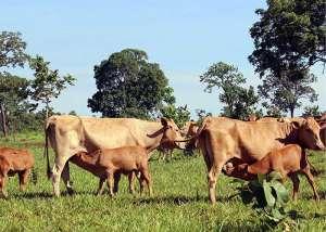 Embrapa: sêmen refrigerado eleva taxas de prenhez em bovinos