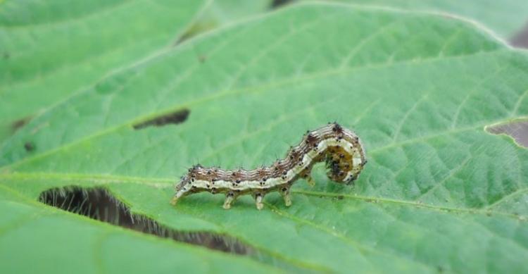 CCAB oferece dois produtos biológicos contra lagartas