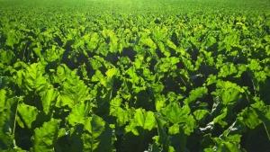 Defensivos agrícolas piratas representam 10% do mercado Produtos falsificados podem conter gelatina, corantes de sorvete, cal e substâncias cancerígenas