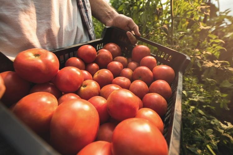 Inovações na produção de tomates
