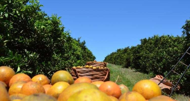 Cinturão citrícola de SP e MG produzirá 388,89 milhões de caixas de laranja na safra 2019/20