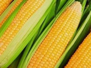Milho: Preços apresentam comportamento distinto dentre as regiões