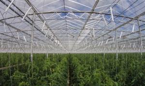 Estufa tecnológica no deserto produz 17 mil toneladas de tomate orgânico/ano