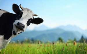 Como está o FDF na dieta das suas vacas?